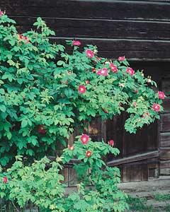 Kärsälän ruusutila